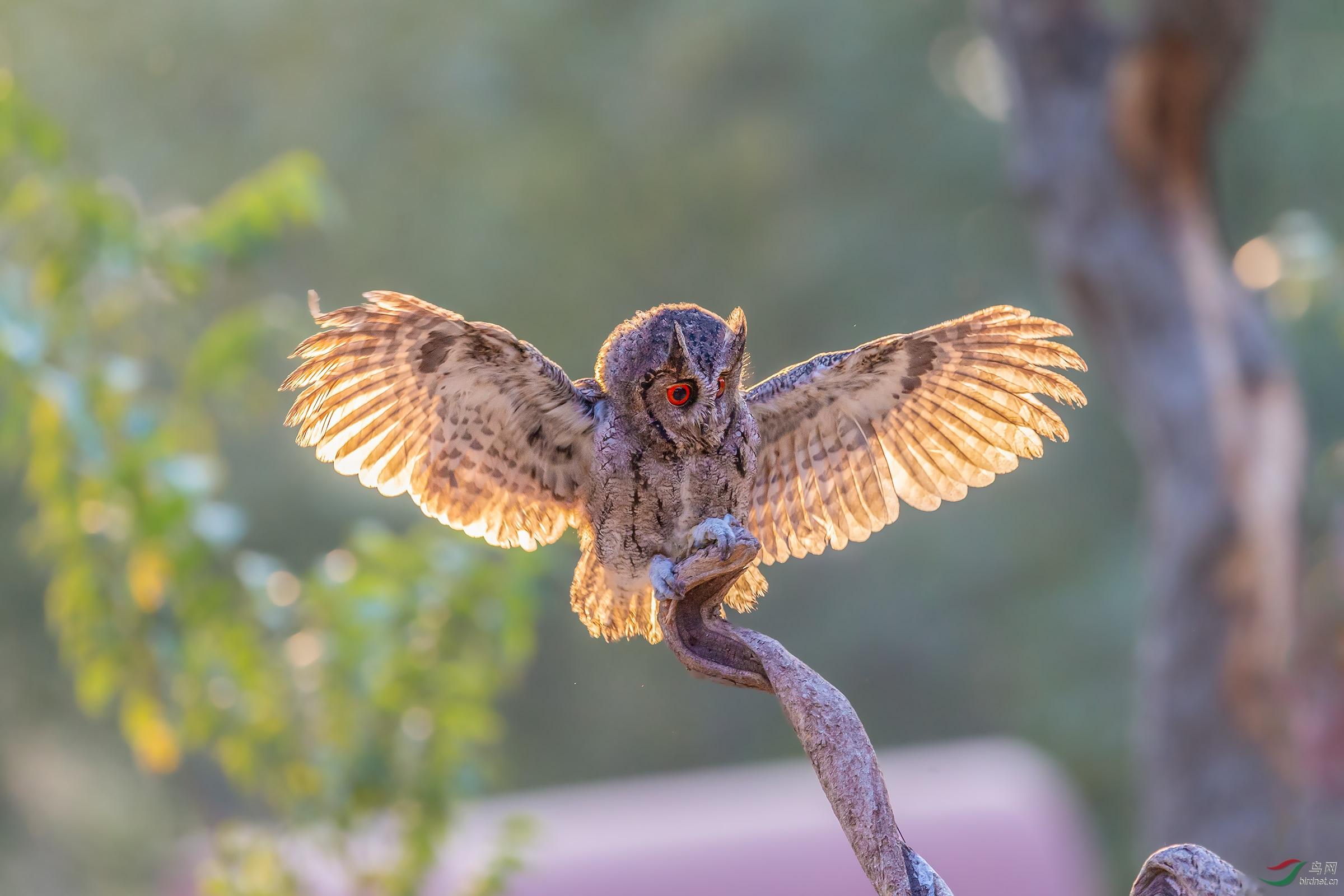 长耳鸮-651.jpg