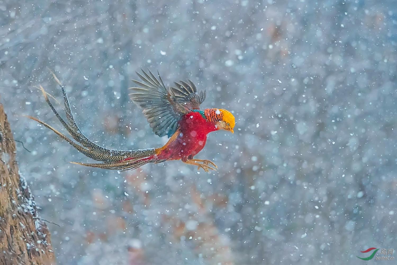 雪中飞凤.jpg
