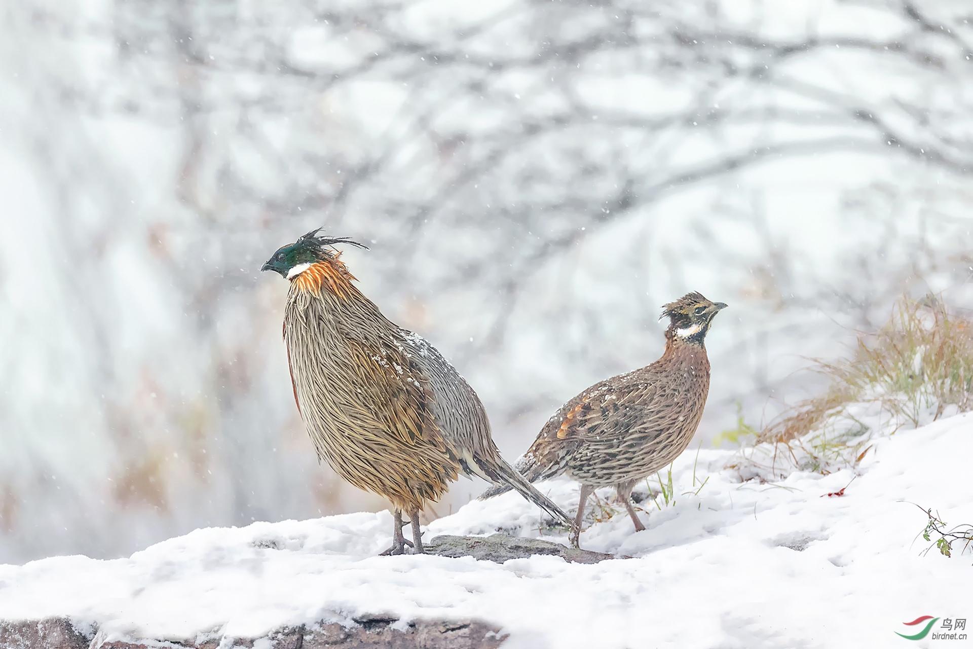 雪中勺鸡.jpg