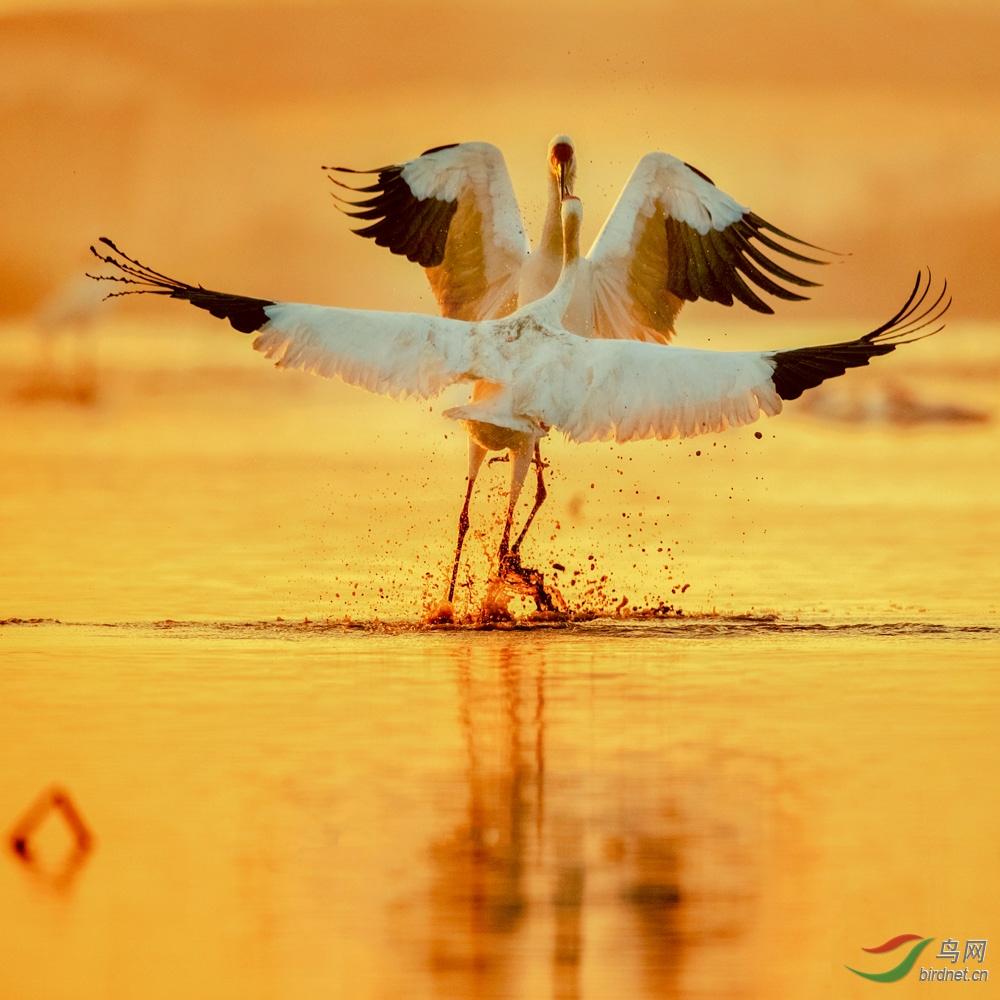 《白鹤起舞》.jpg