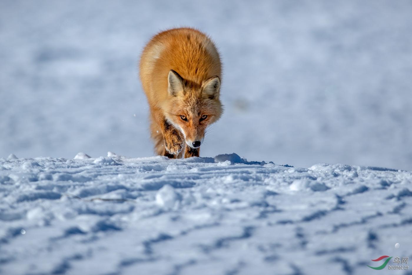 《狐狸》.jpg