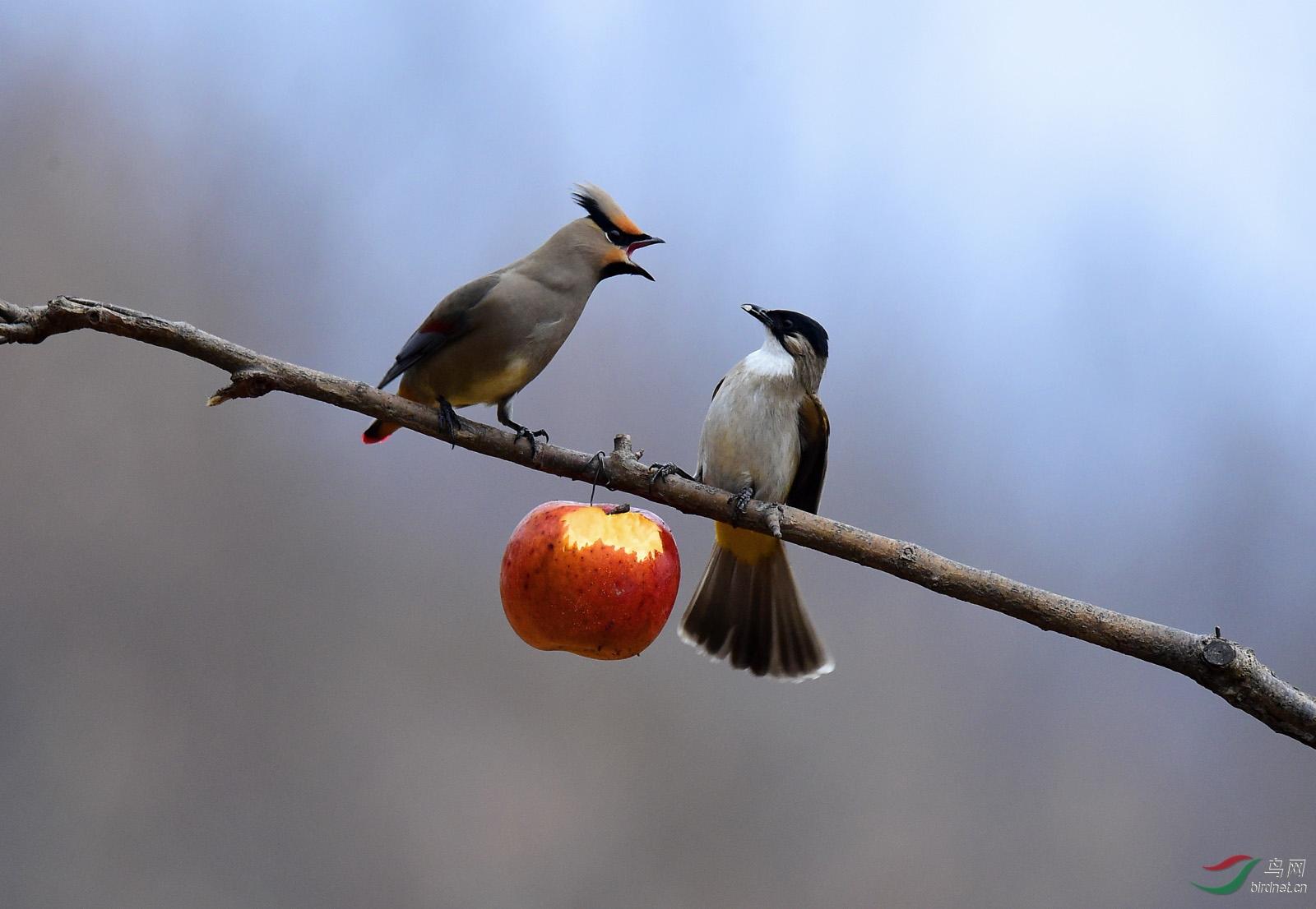 太平鸟、黄臀鹎-01-1600.jpg