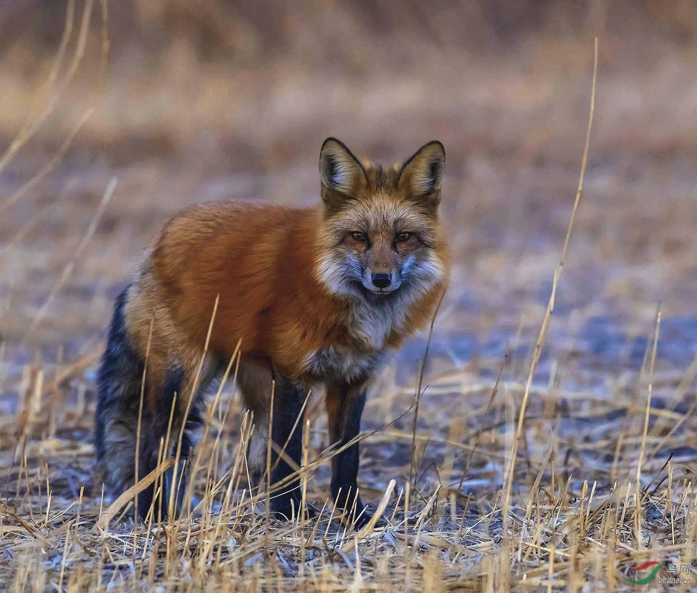 秋霜伴赤狐