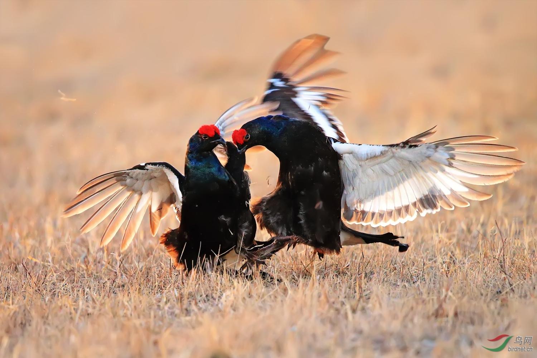 黑琴鸡11cp.jpg