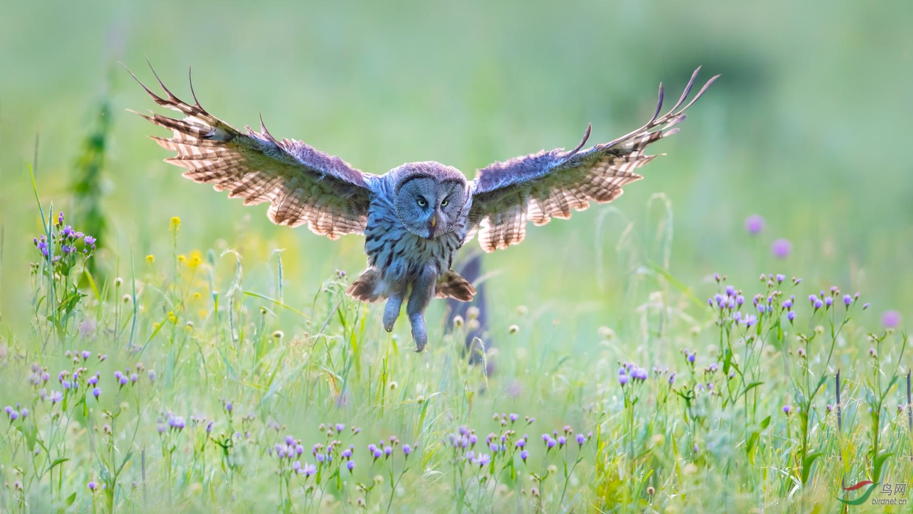 乌林鸮 (2).jpg