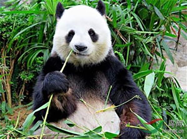 大熊猫.---A.jpg