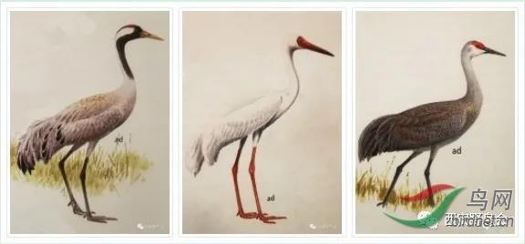 001由左到右分别是灰鹤、白鹤、沙丘鹤 ,图片摘自《Birds of Japan》.jpg