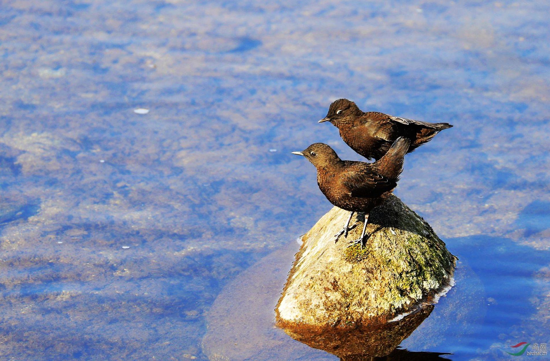 褐河鸟.jpg