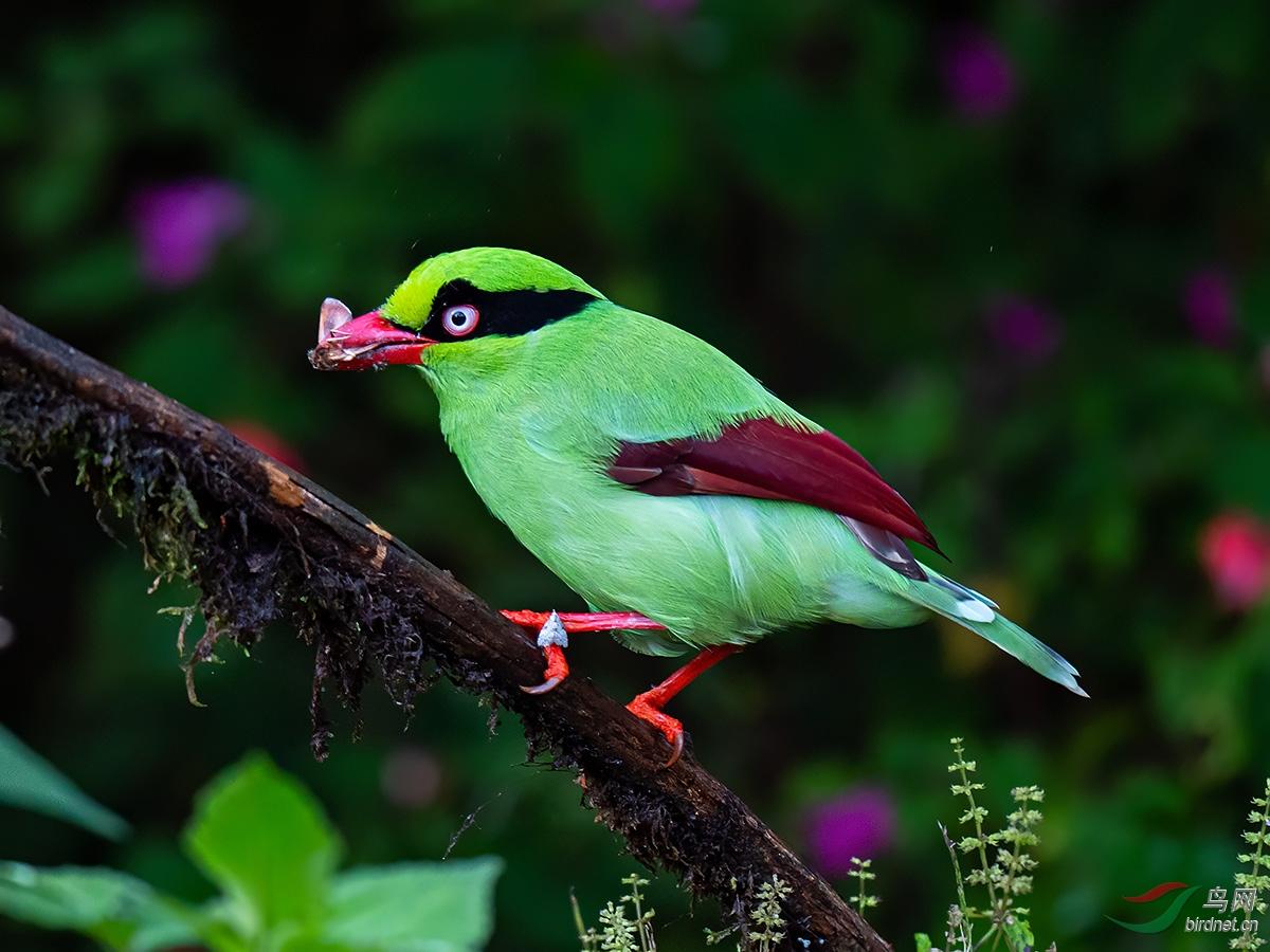 婆罗洲绿鹊
