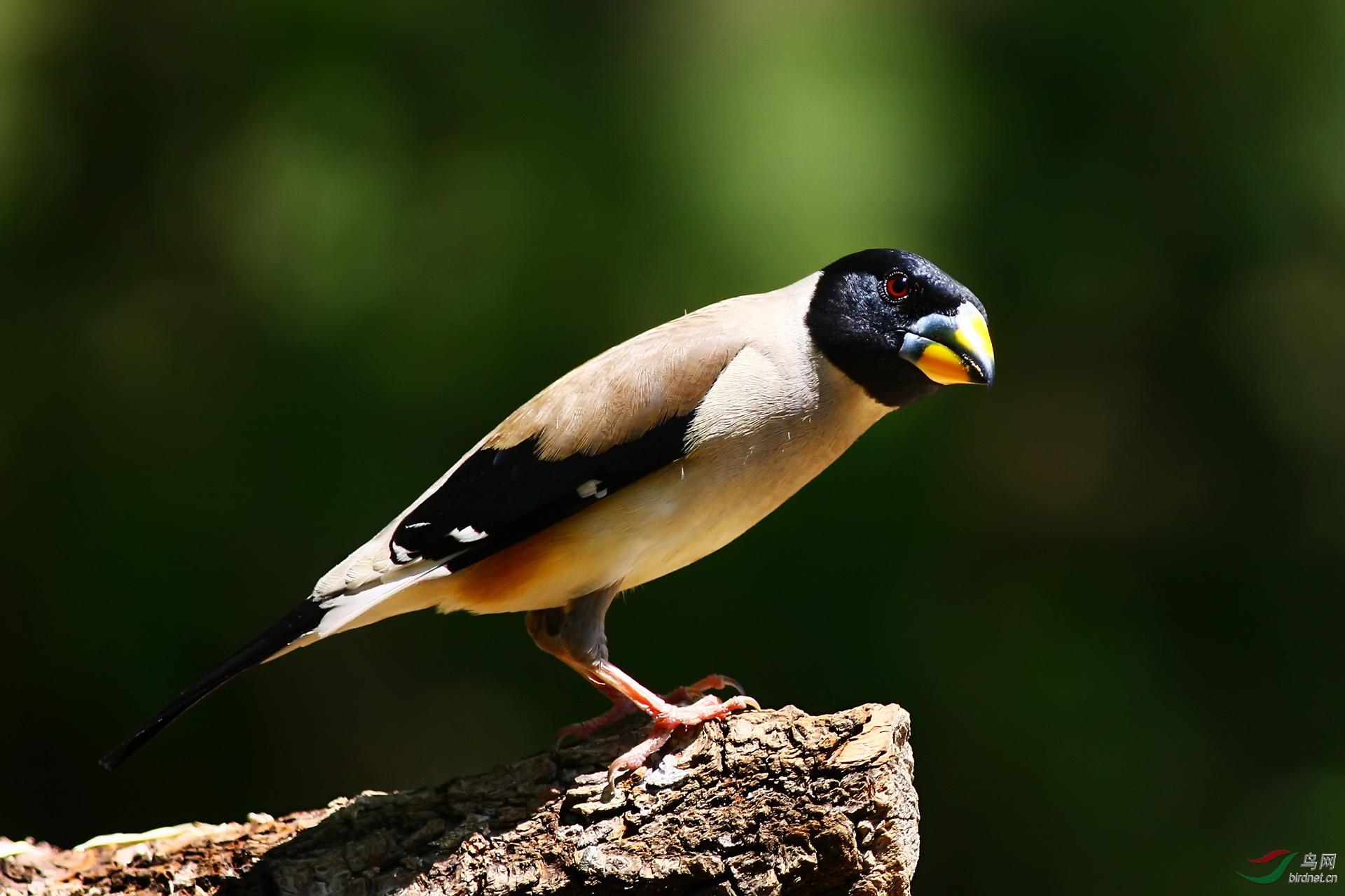 候鸟—黑尾蜡嘴雀1.jpg