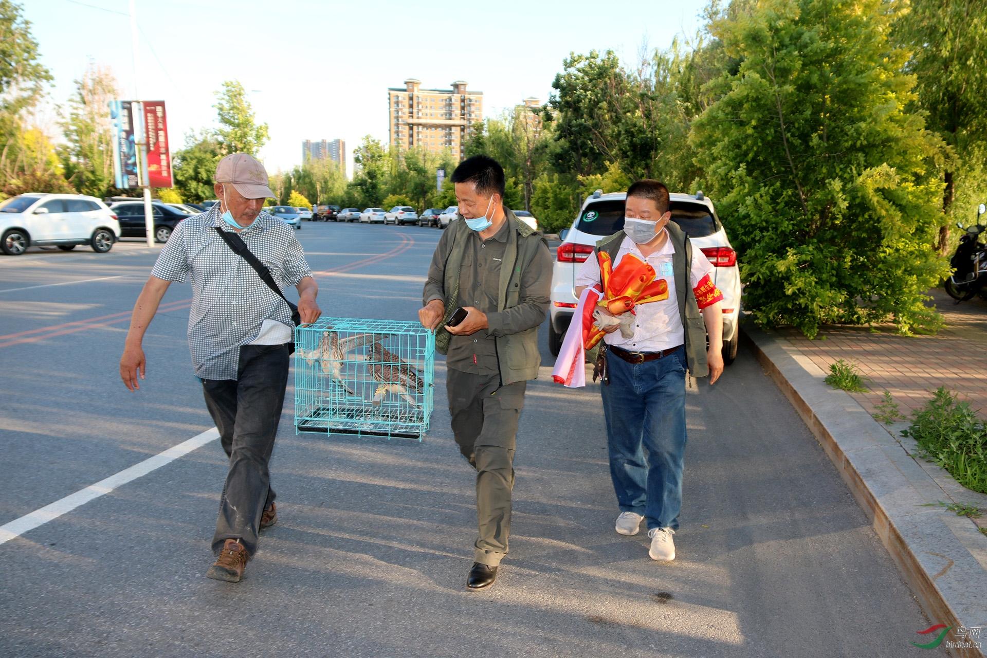 1,中国鸟网野保志愿者:点石成金和老五摄影2人精心喂养的红隼做放飞前准备。