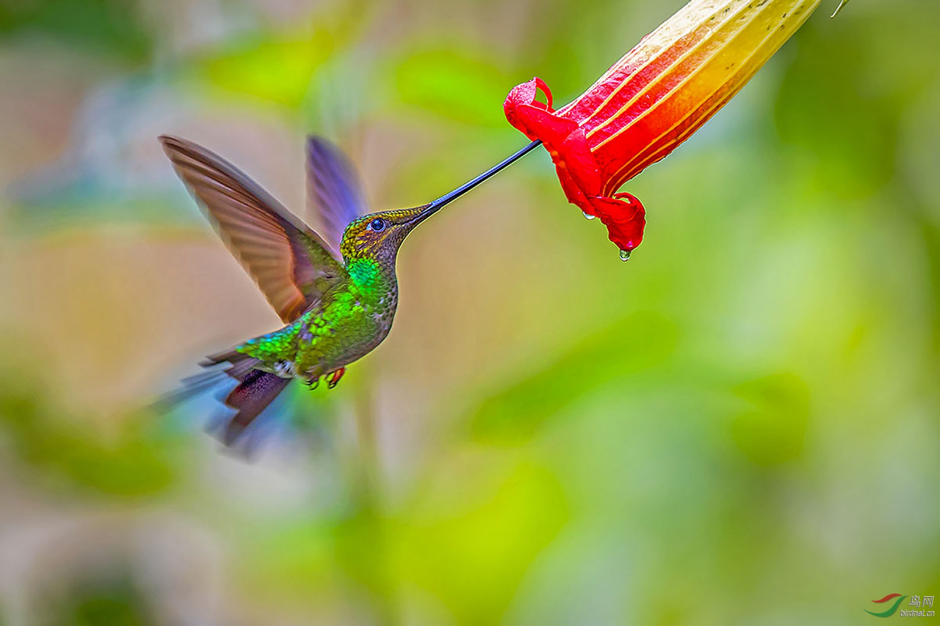蜂鸟3.jpg