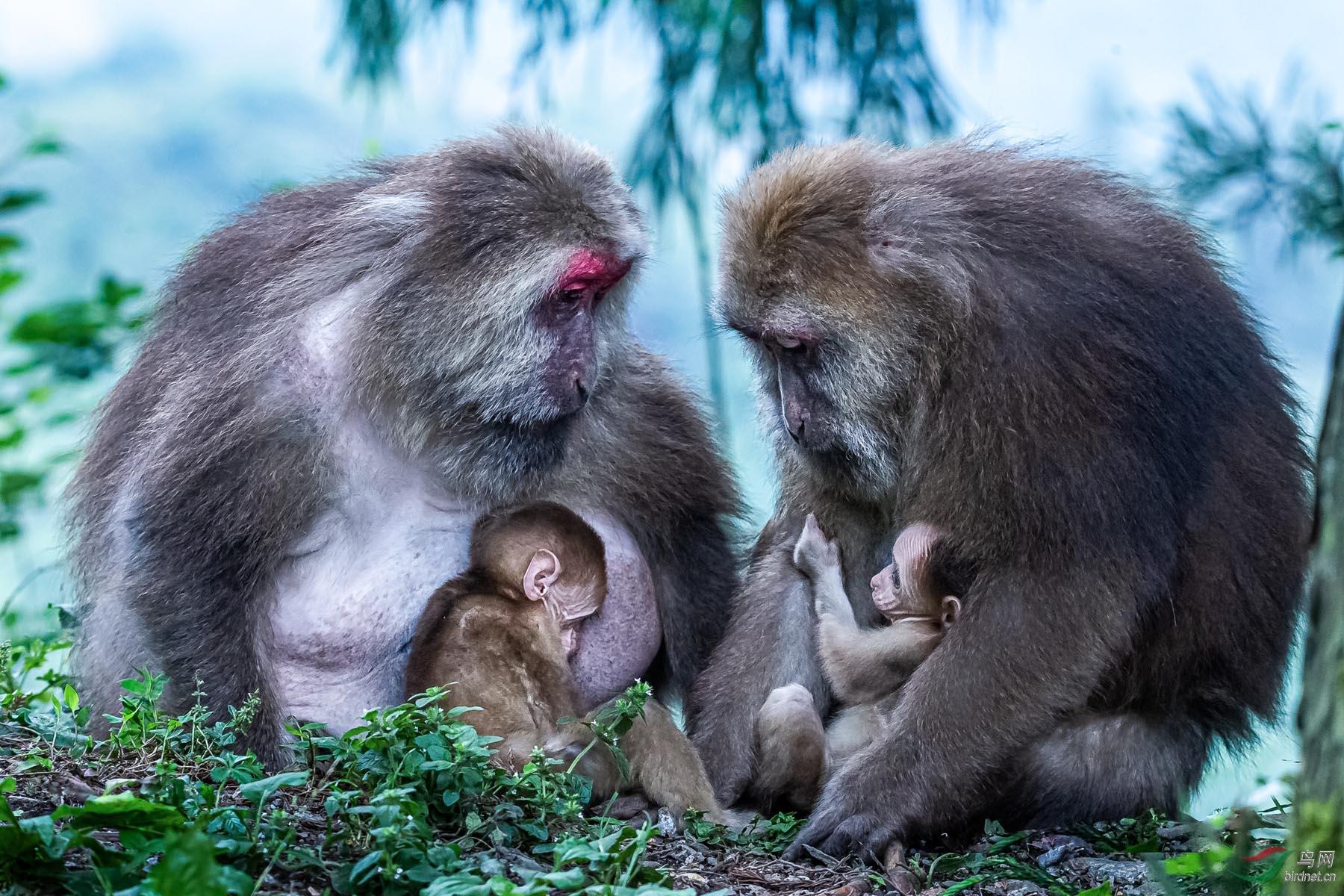 有妈的孩子-藏酋猴