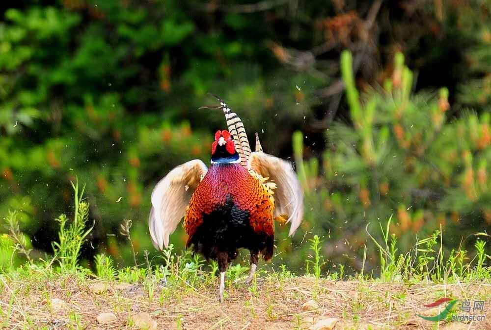 雉鸡2.jpg