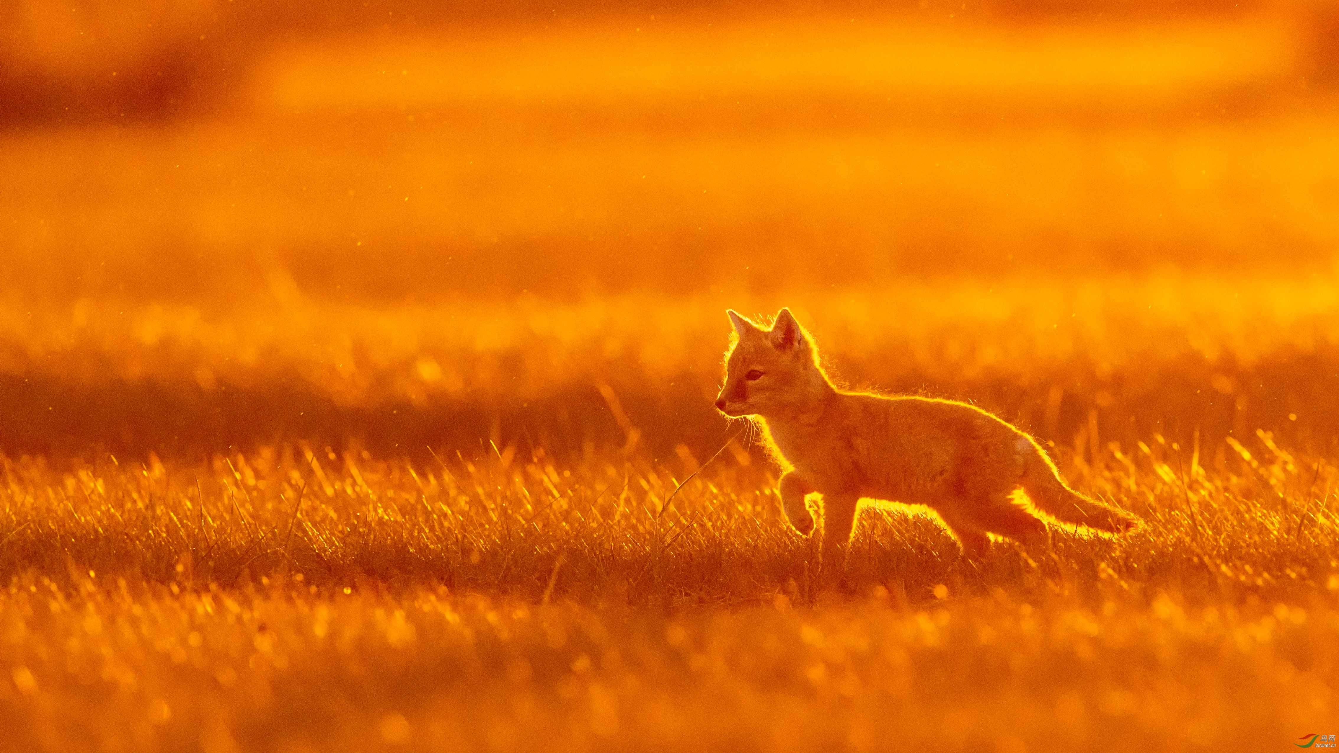 夕阳下的小狐狸