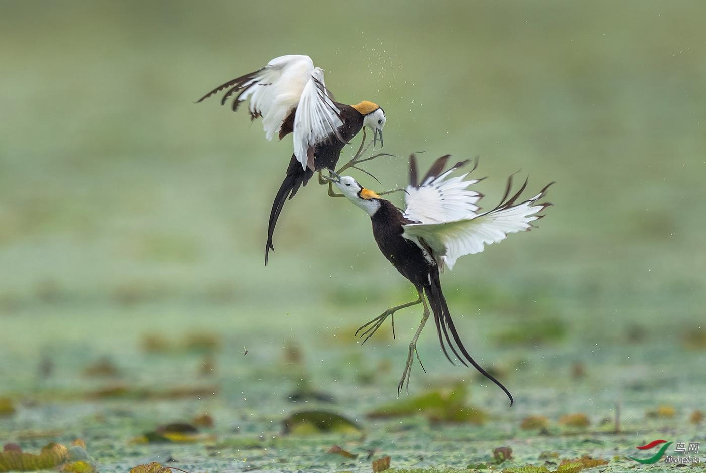 早起的小鸟20201792.水雉的争斗.jpg