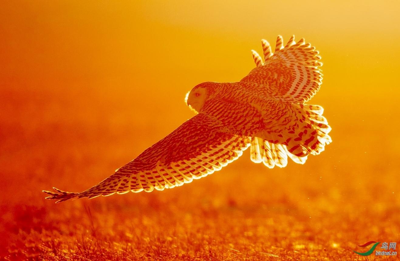广汉万紫千红20202647.雪鸮 (2).jpeg