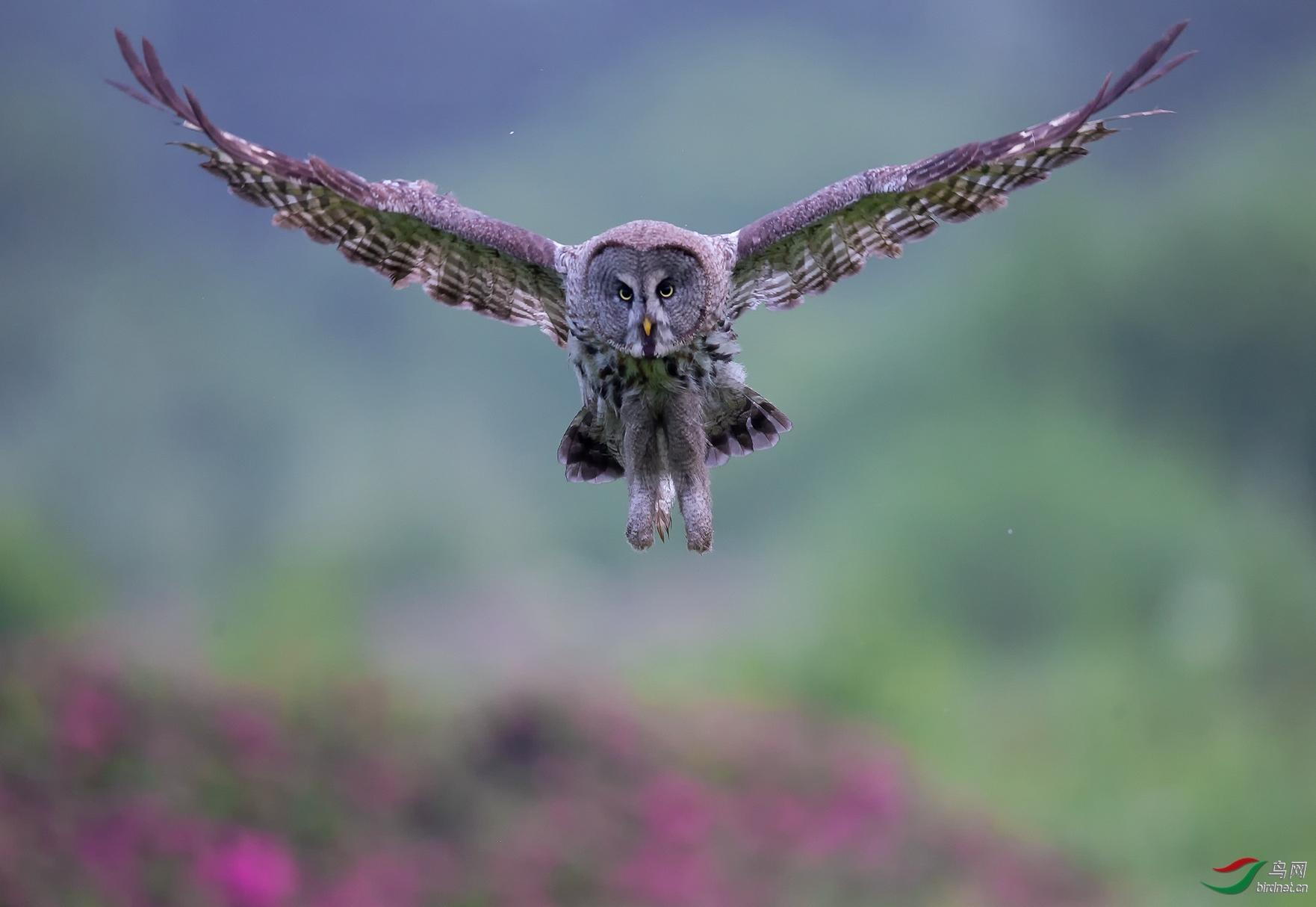 果怡20202318.腾飞的乌林鸮.jpg