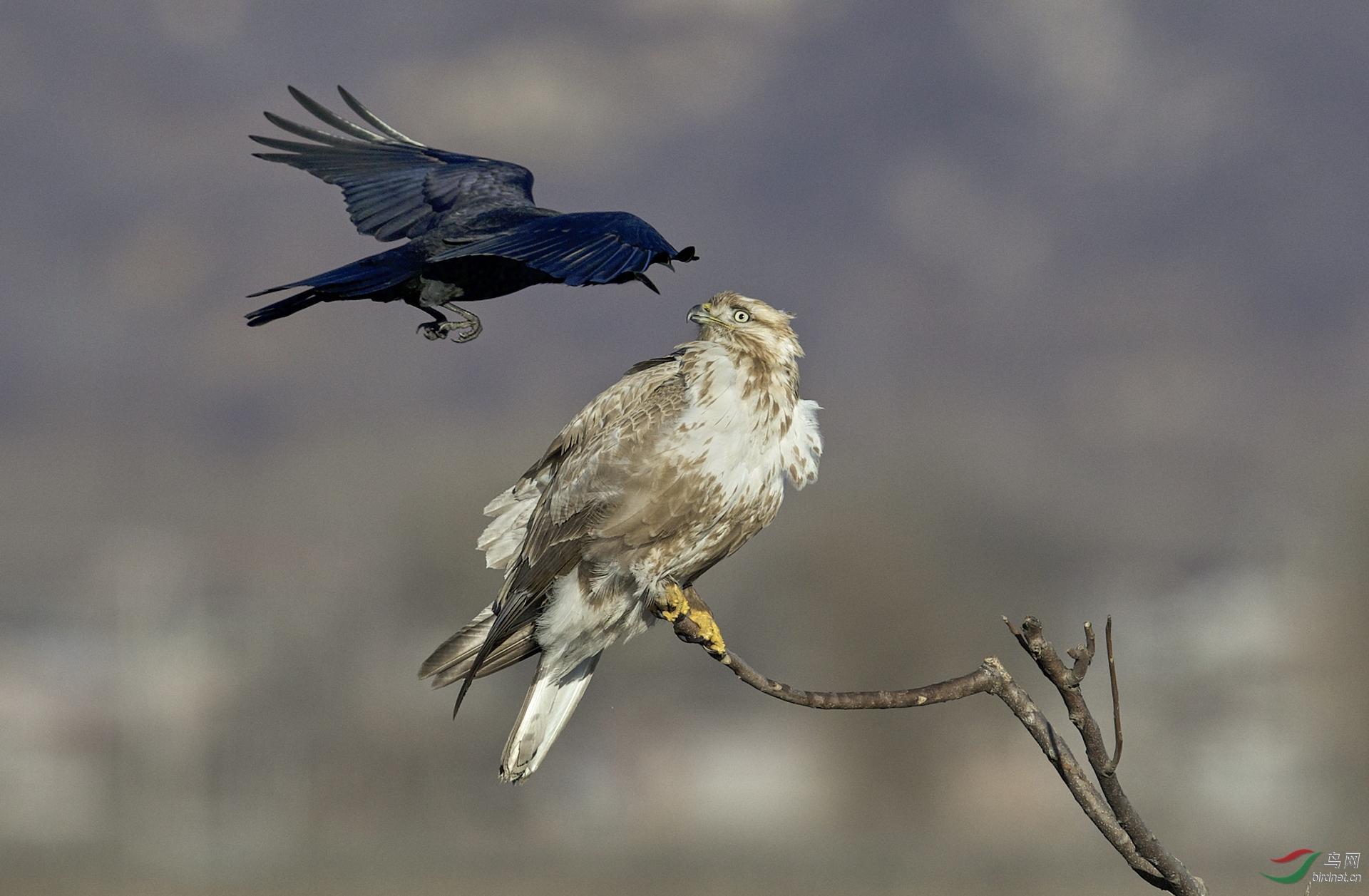 雄风飏20200807.乌鸦与