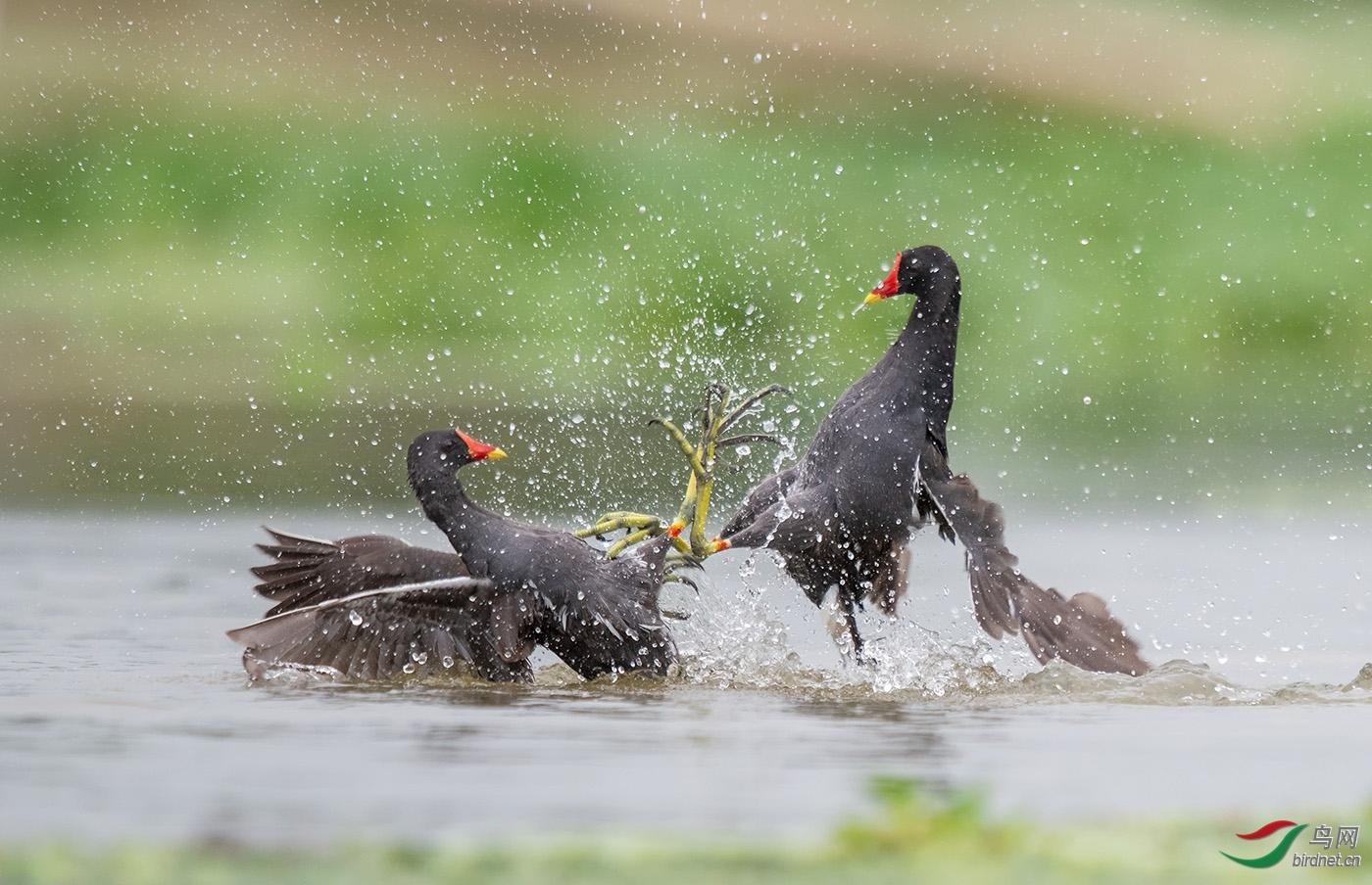 早起的小鸟20201498.战斗的黑水鸡.jpg