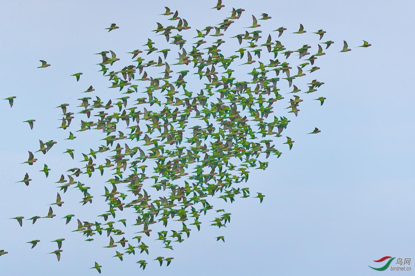 薄发-20202830.鹦鹉集群.jpg