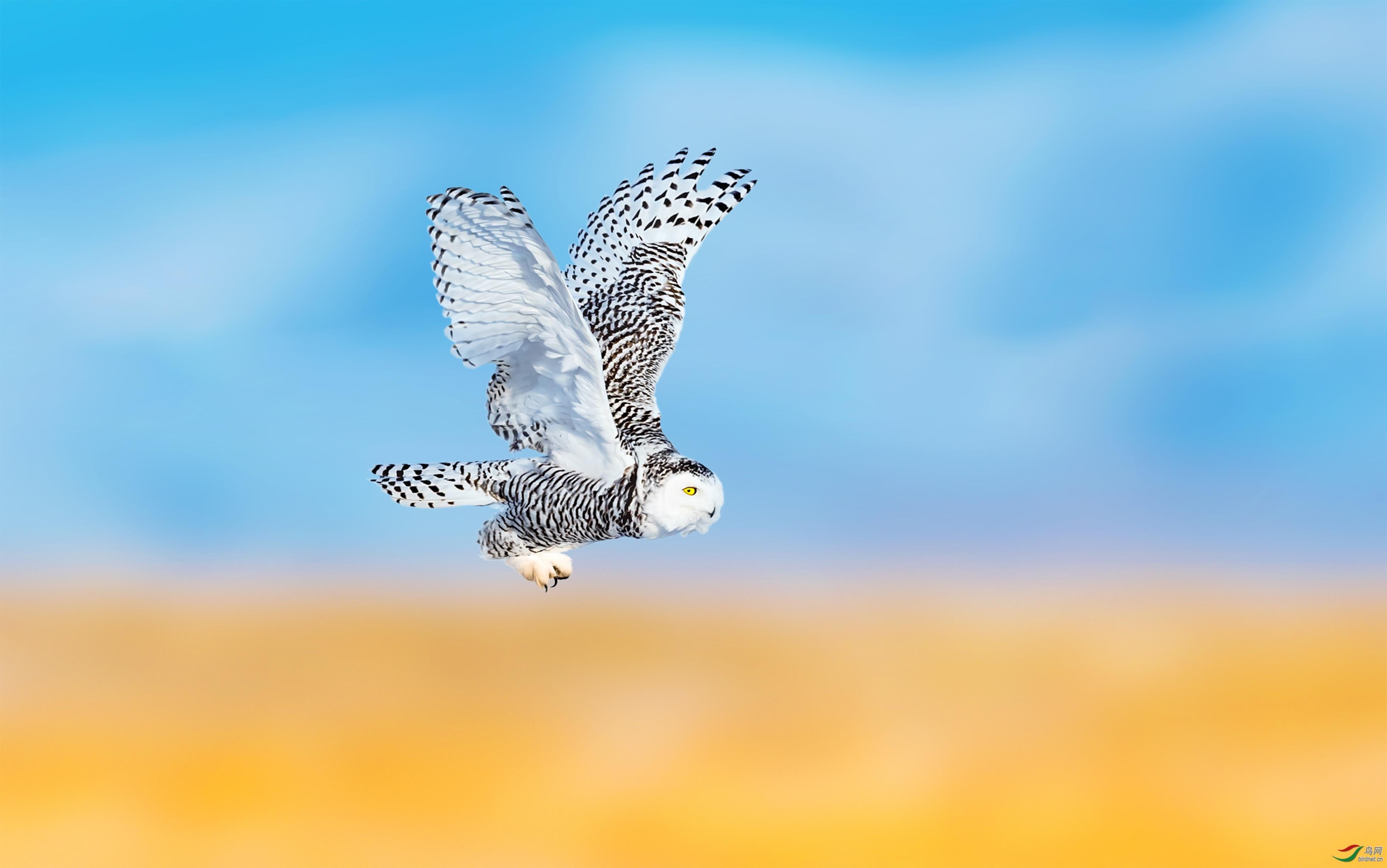 晨光-20202657.雪鸮 (11).jpg