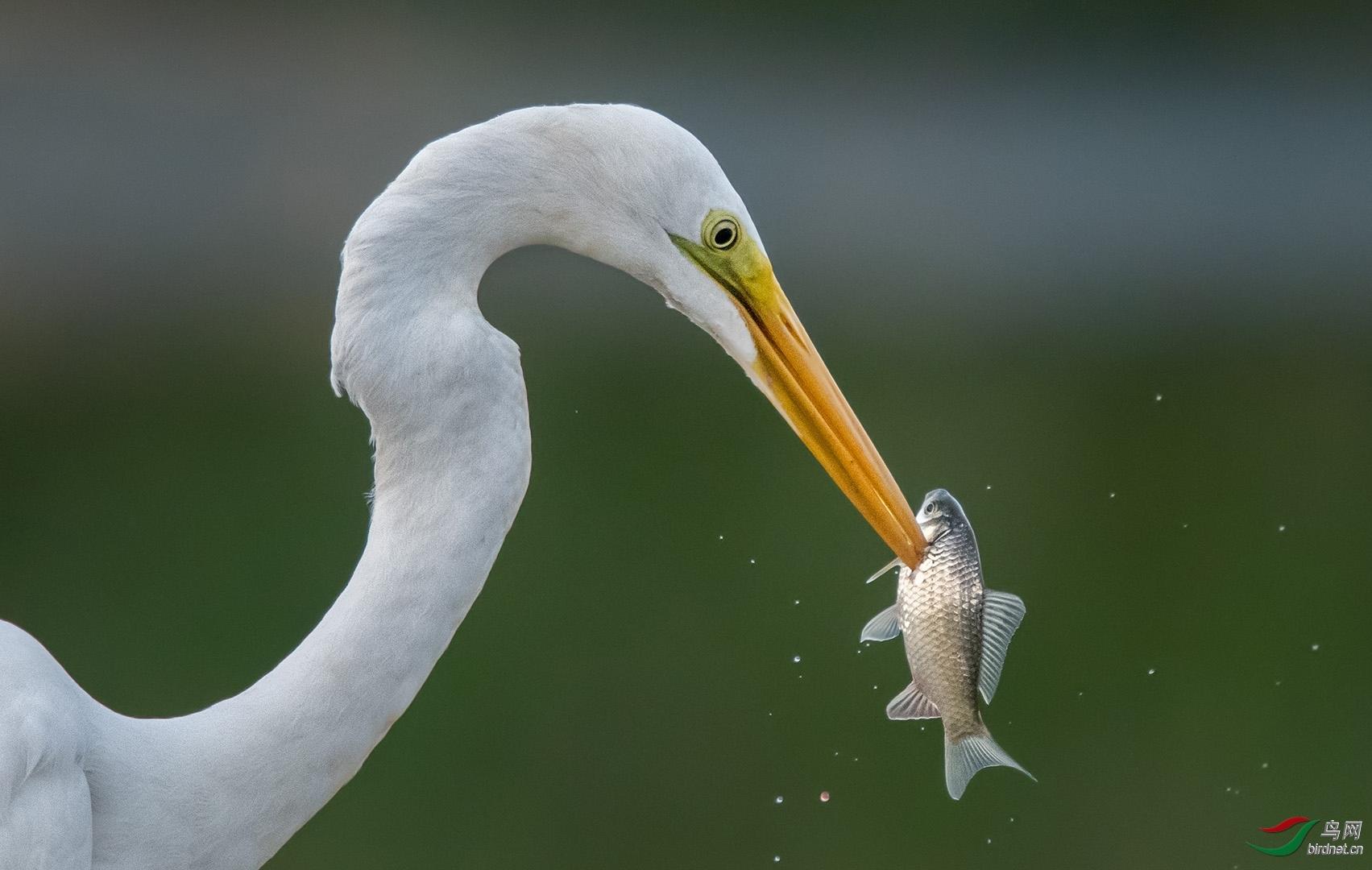 早起的小鸟20201166.大白鹭的晚餐.jpg