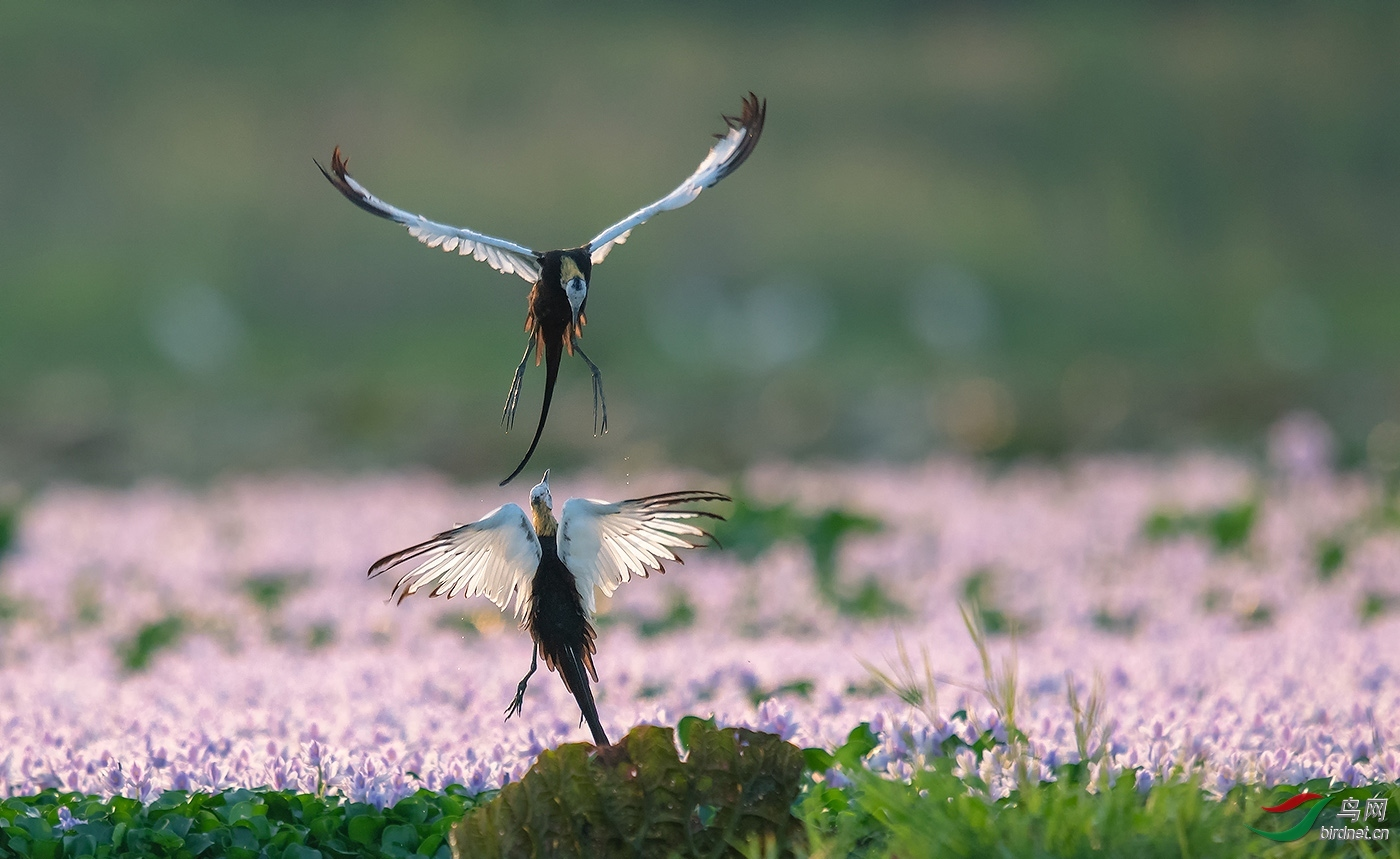 早起的小鸟20202347.花间争斗.jpg