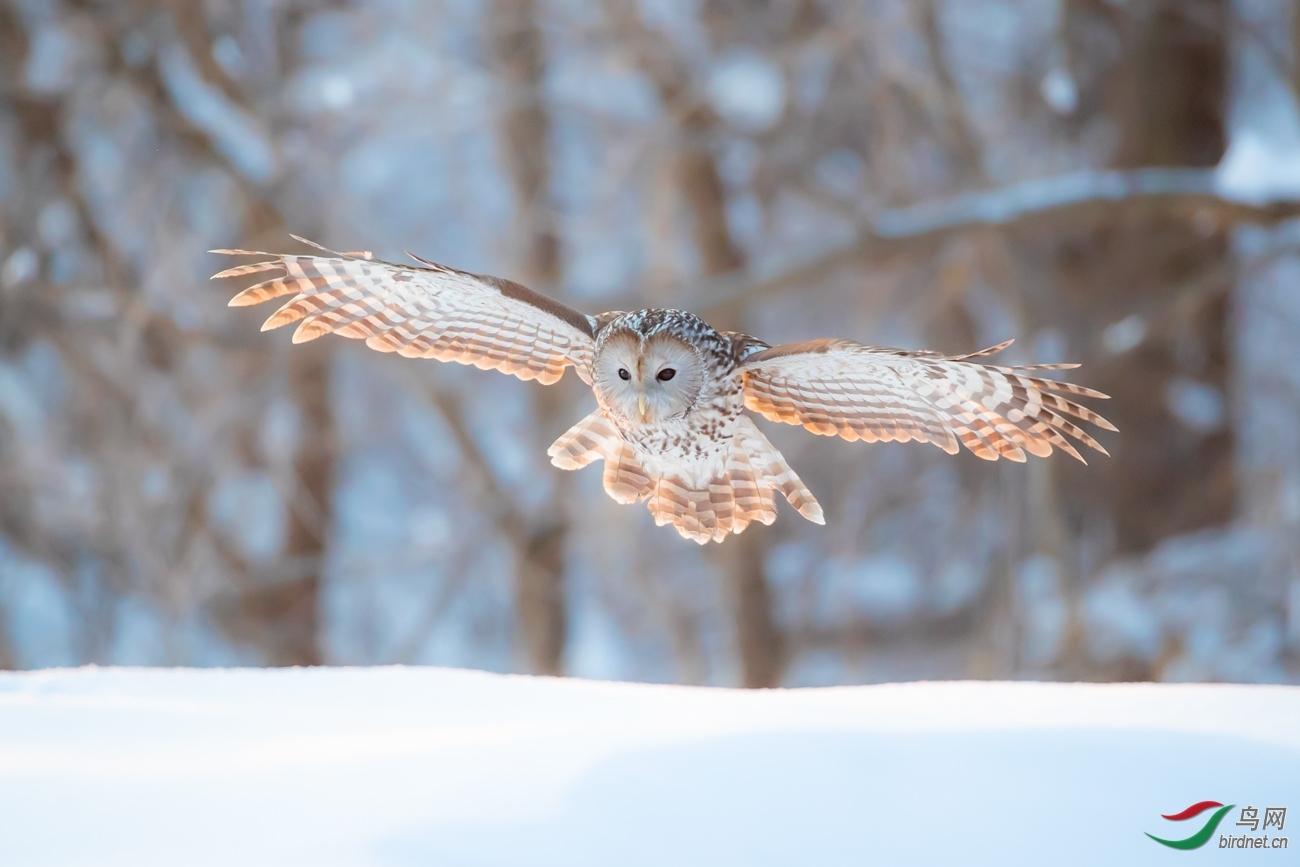 周丰20201659.晨飞的长尾林鸮.jpg