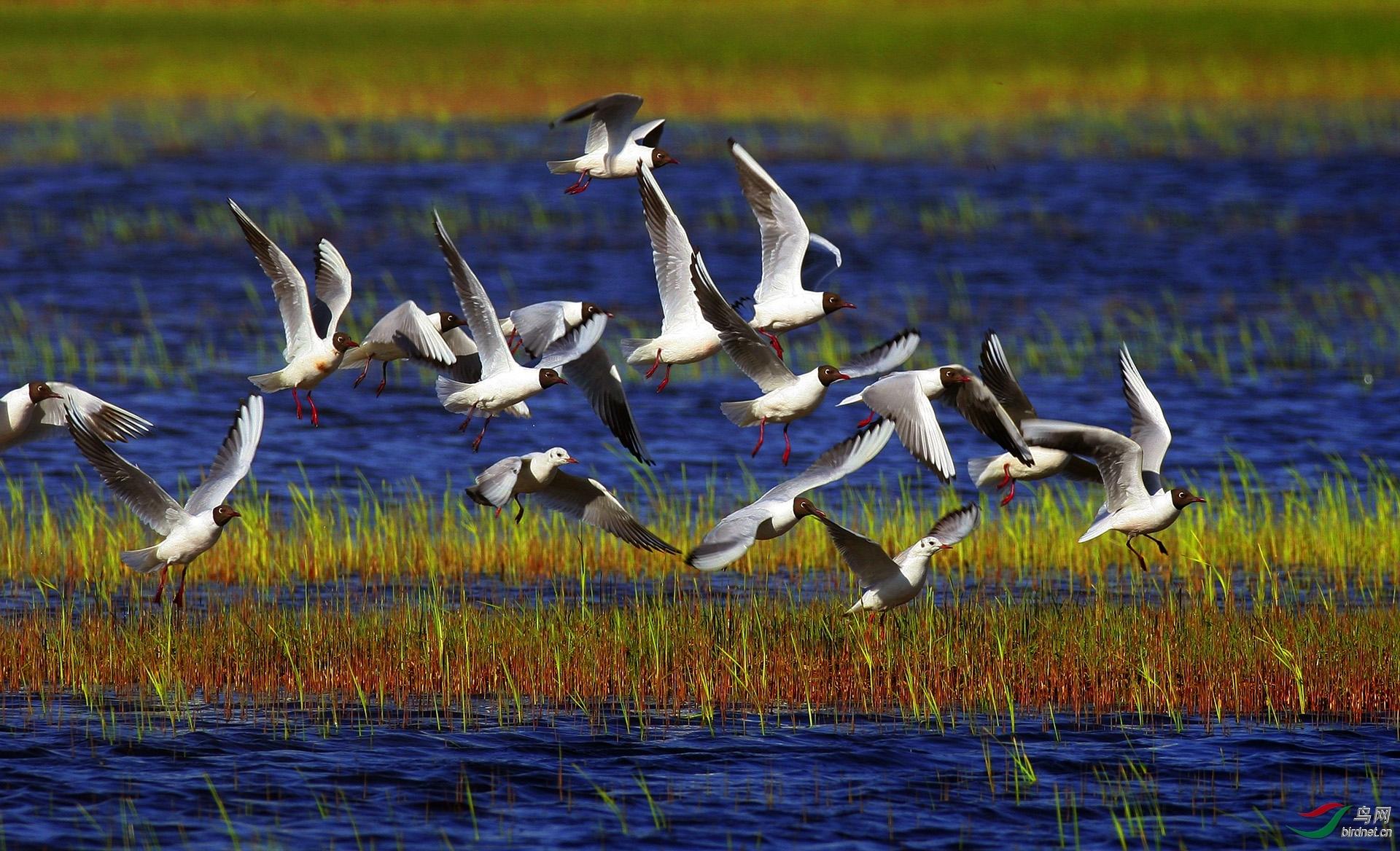 湿地掠影—红嘴鸥.jpg