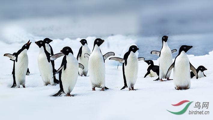 19-阿德莱企鹅AE4F1133-1128-ok.jpg