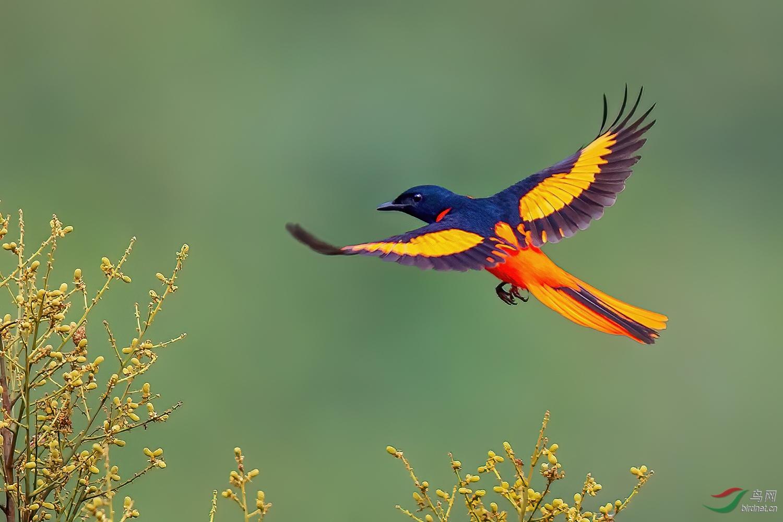 赤红山椒鸟AW9P4940.jpg