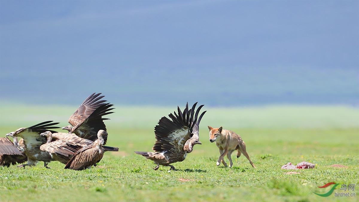 高山兀鹫遇到了狼....jpg