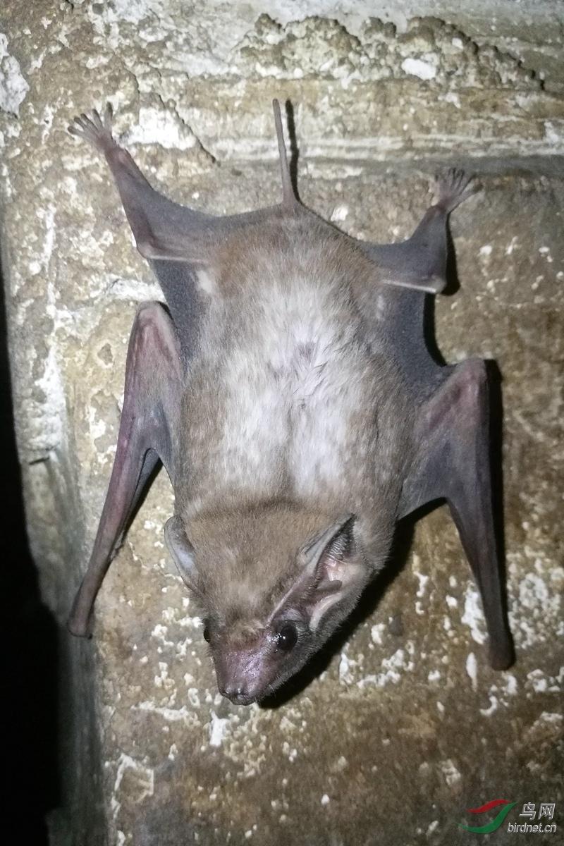 长臂墓蝠 Long-winged tomb bat (Taphozous longimanus)