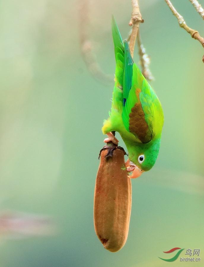 橙翅鹦哥Orange-winged Parrot
