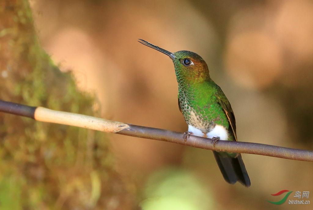 淡绿蓬脚蜂鸟Greenish Puffleg