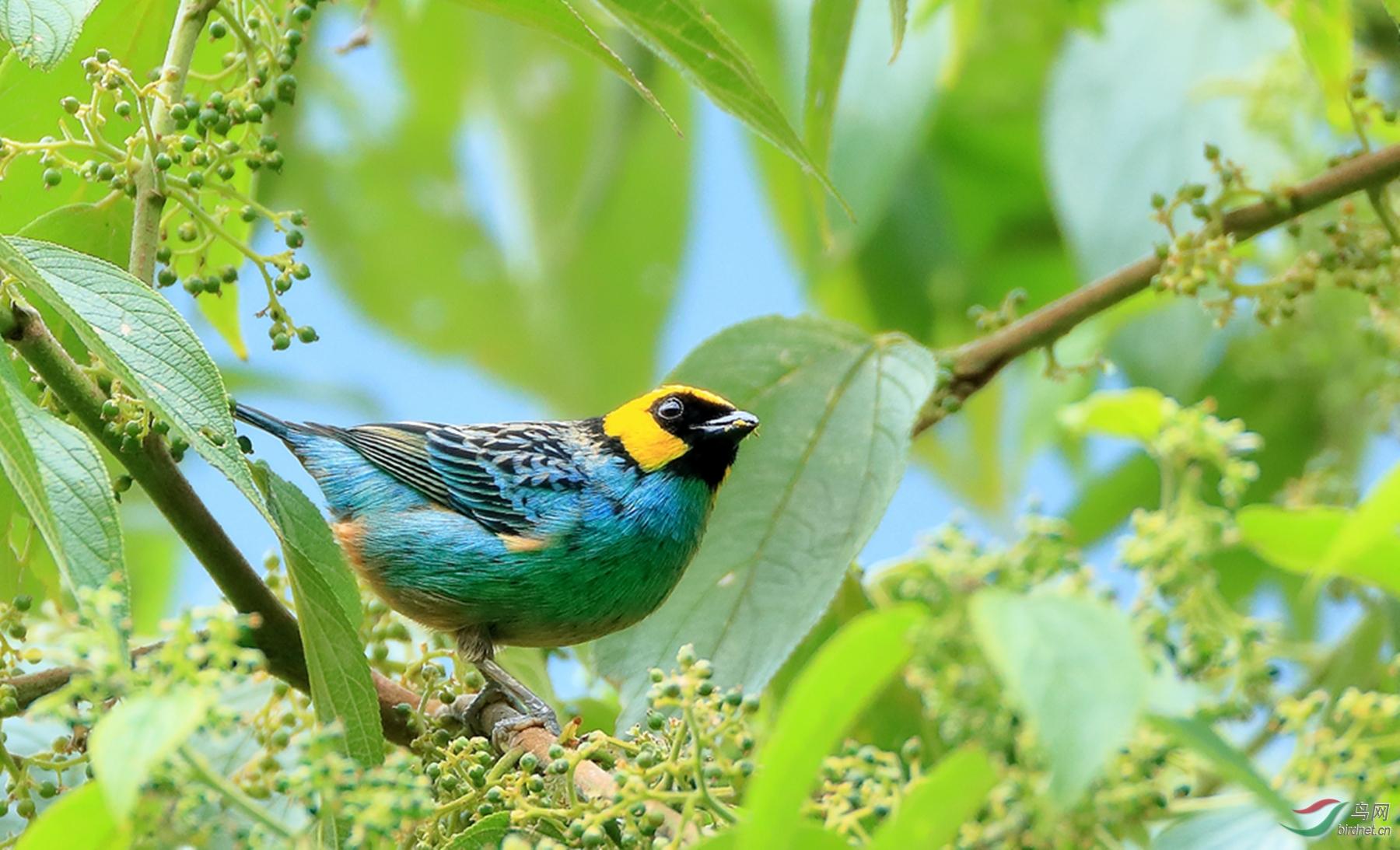 黄顶唐加拉雀Saffron-crowned Tanager