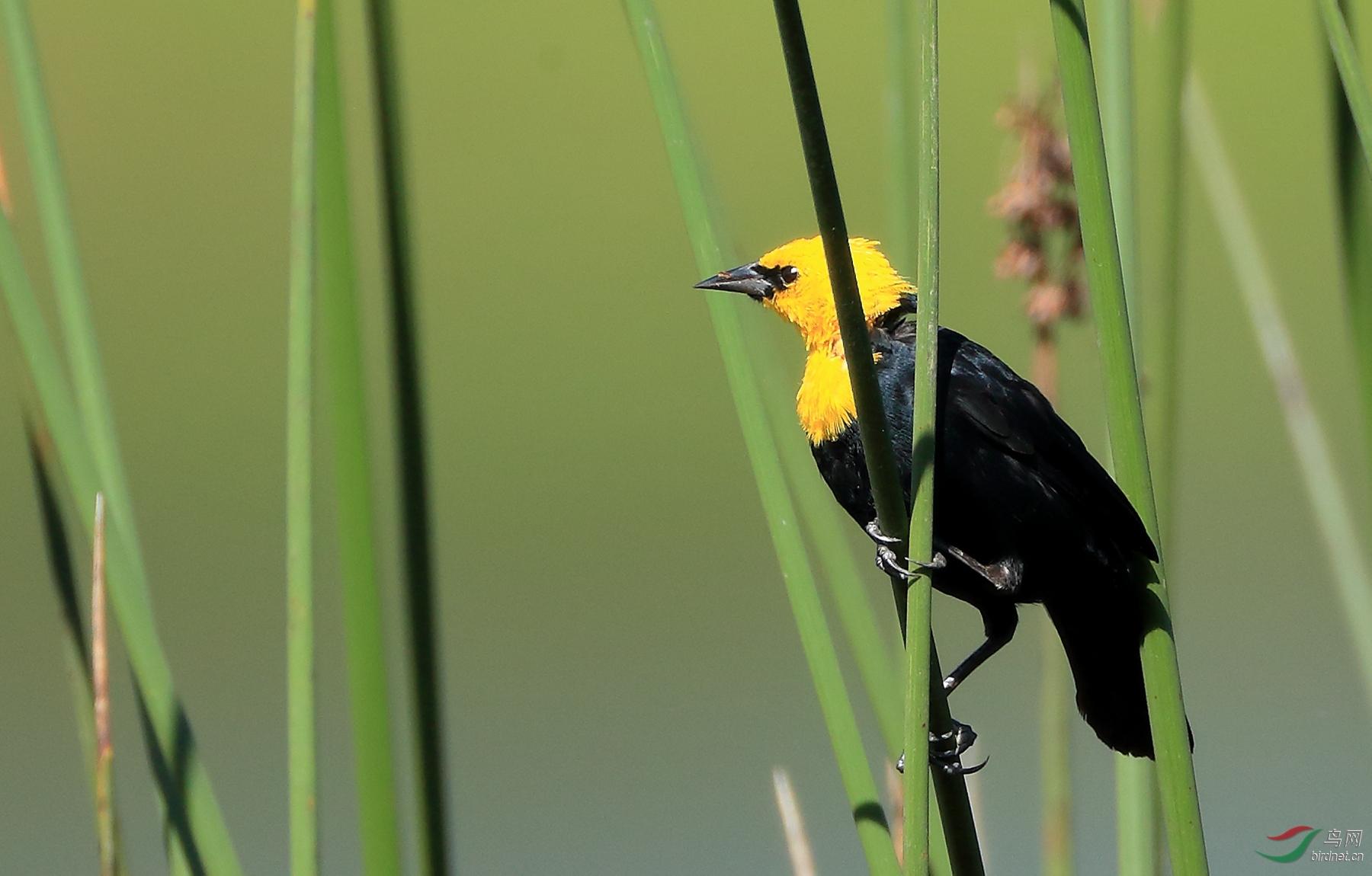 黄巾黑鹂Yellow-hooded Blackbird