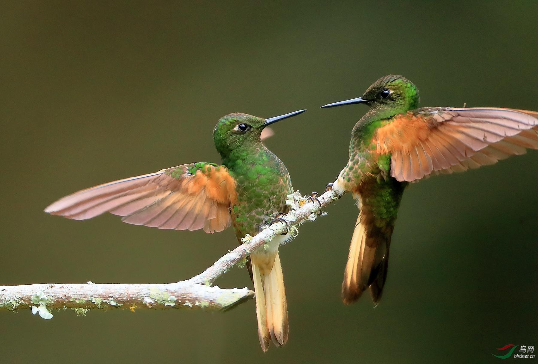 黄尾冕蜂鸟Buff-tailed Coronet