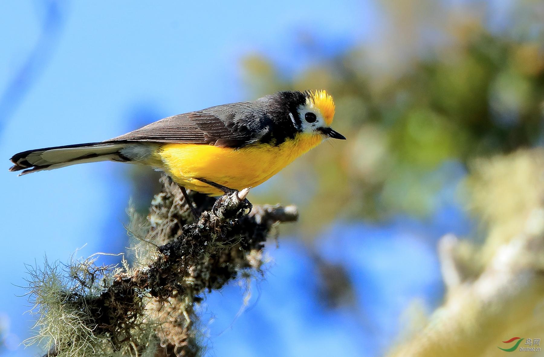 金额鸲莺Golden-fronted Redstart