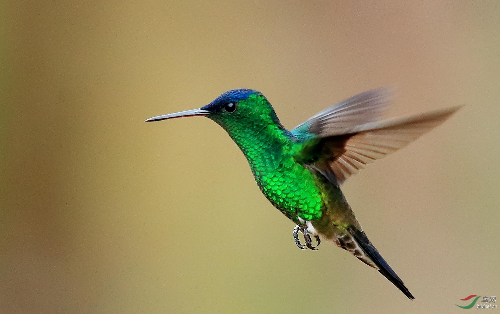青顶蜂鸟Indigo-capped Hummingbird(特有)
