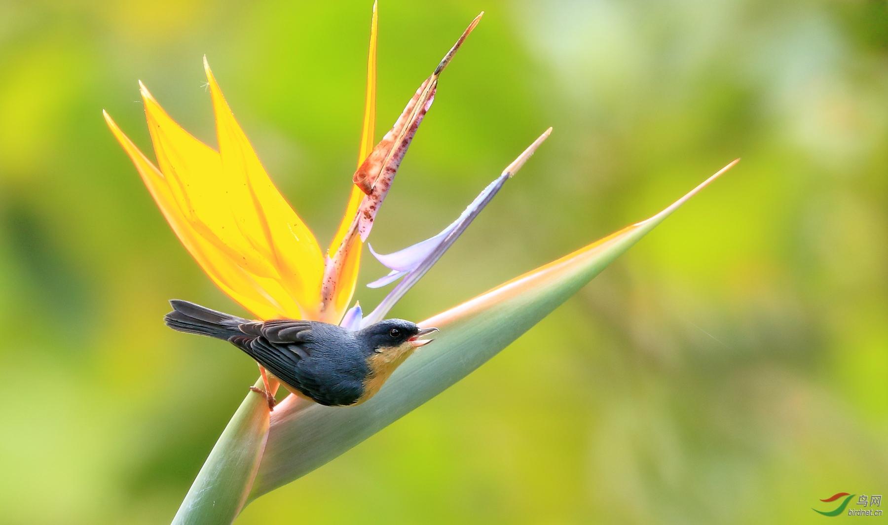 绣色刺花鸟Rusty Flowerpiercer