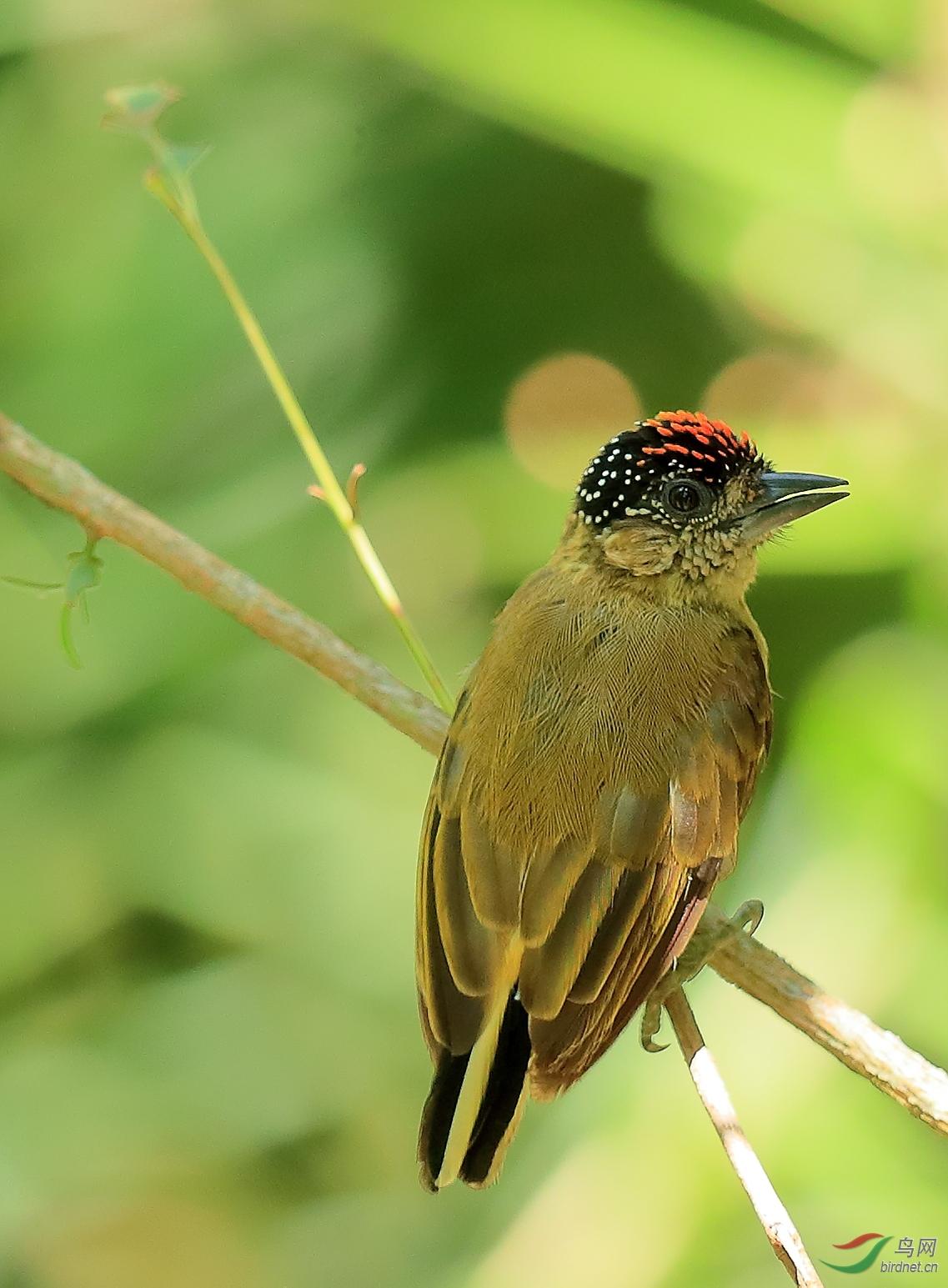 暗绿姬啄木鸟Olivaceous Piculet