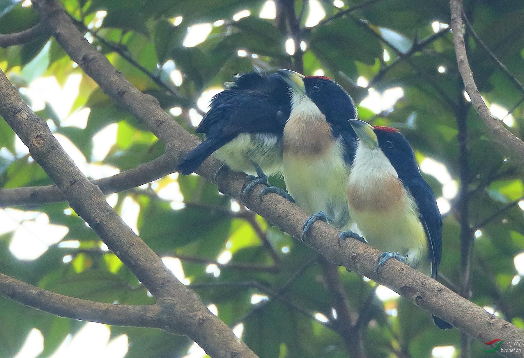 白背须鴷White-mantled Barbet(特有 易危)