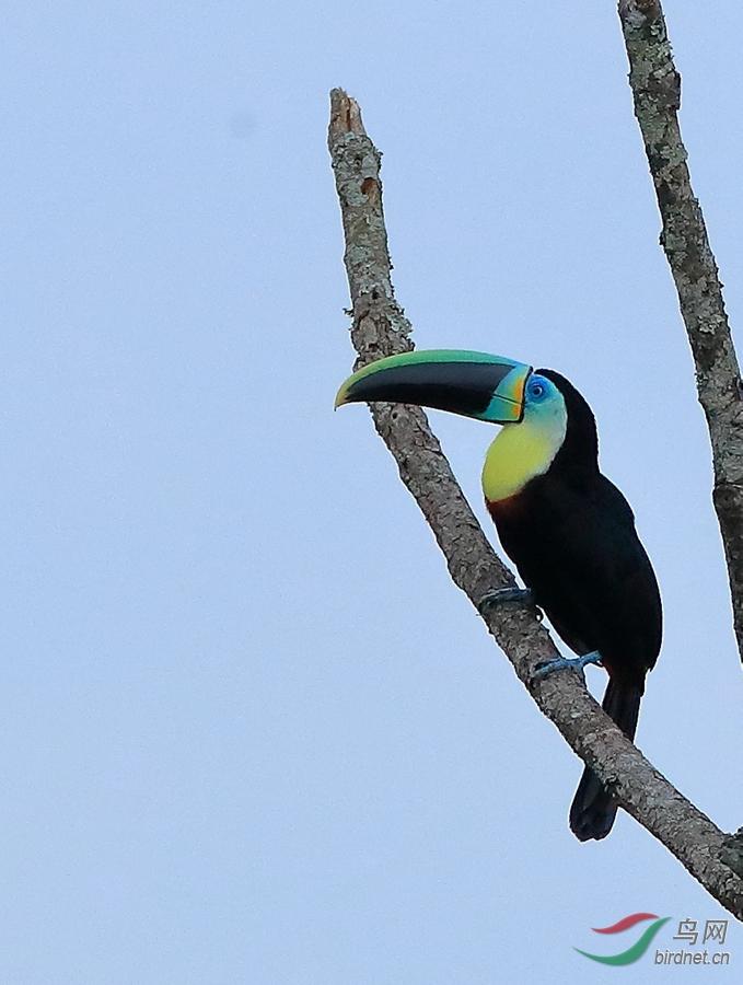 淡黄喉巨嘴鸟