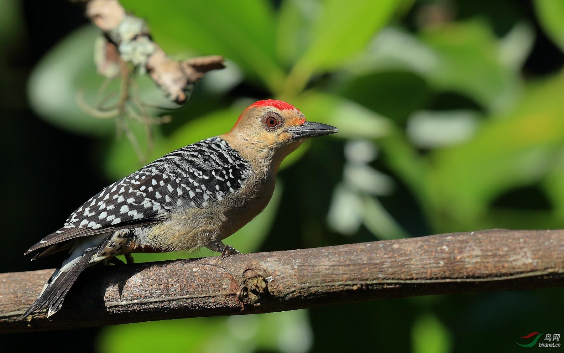 红冠啄木鸟Red-crowned Woodpecker