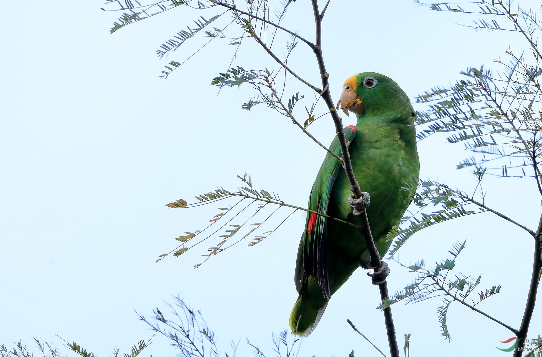 黄冠鹦哥Yellow-crowned Parrot