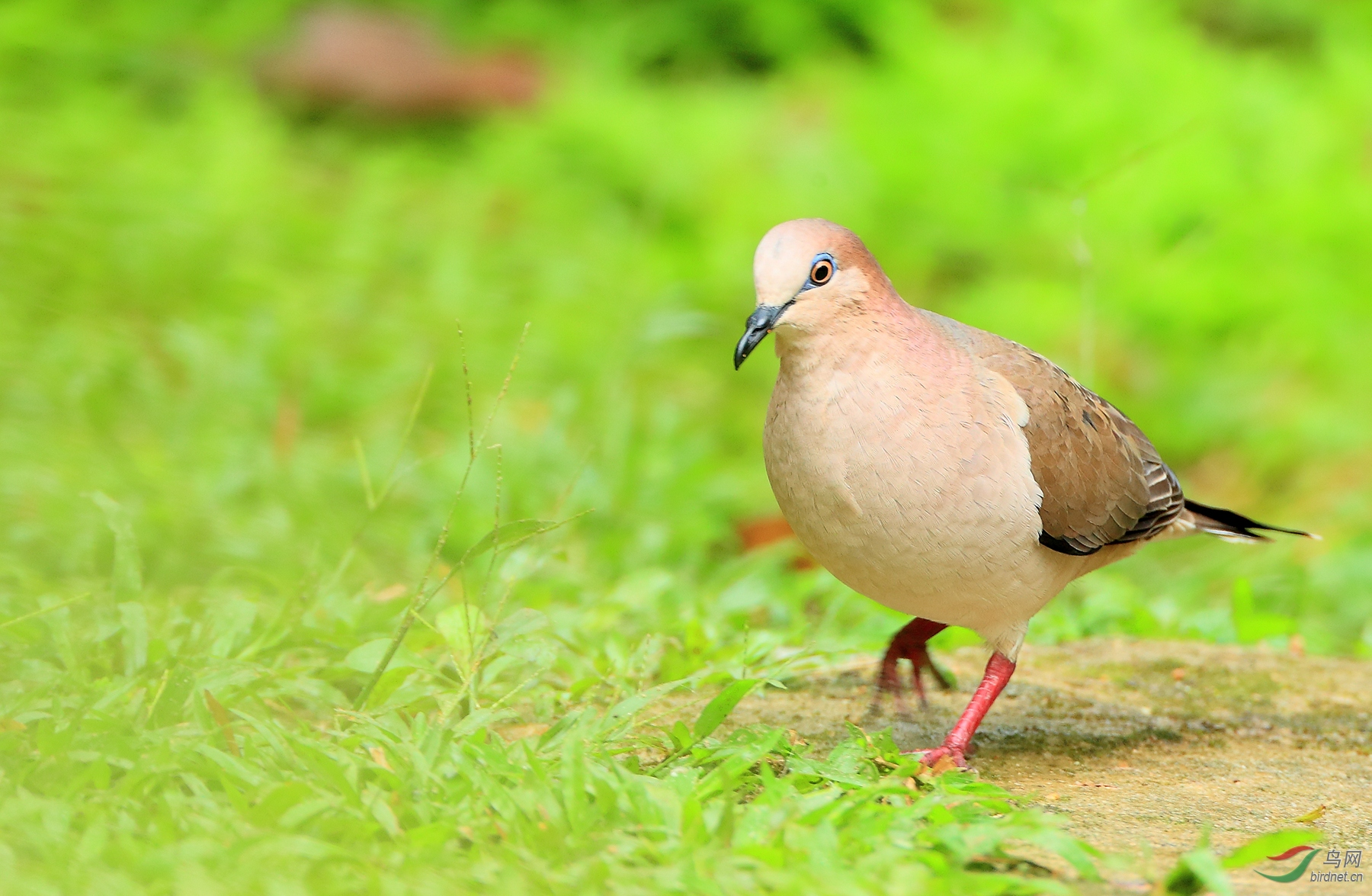 白额棕翅鸠White-tipped Dove