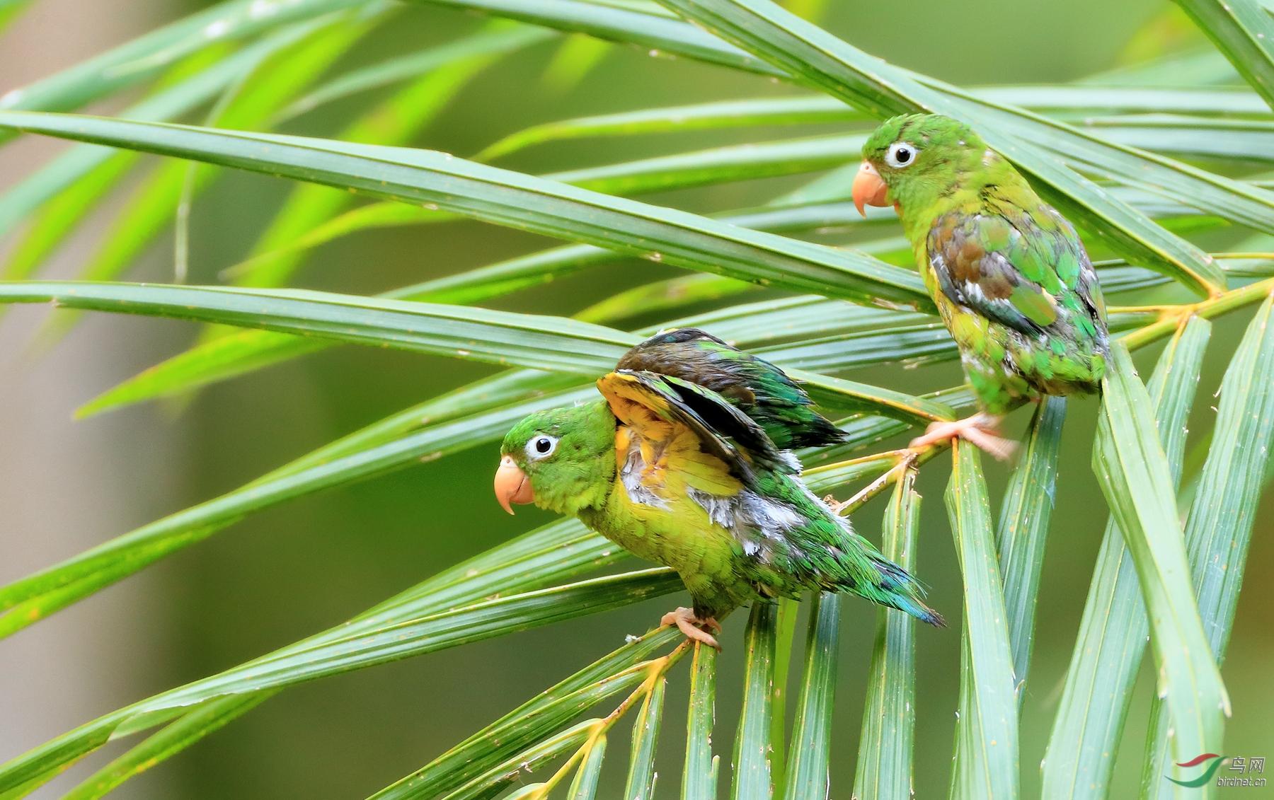 橙颏鹦哥Orange-chinned Parakeet
