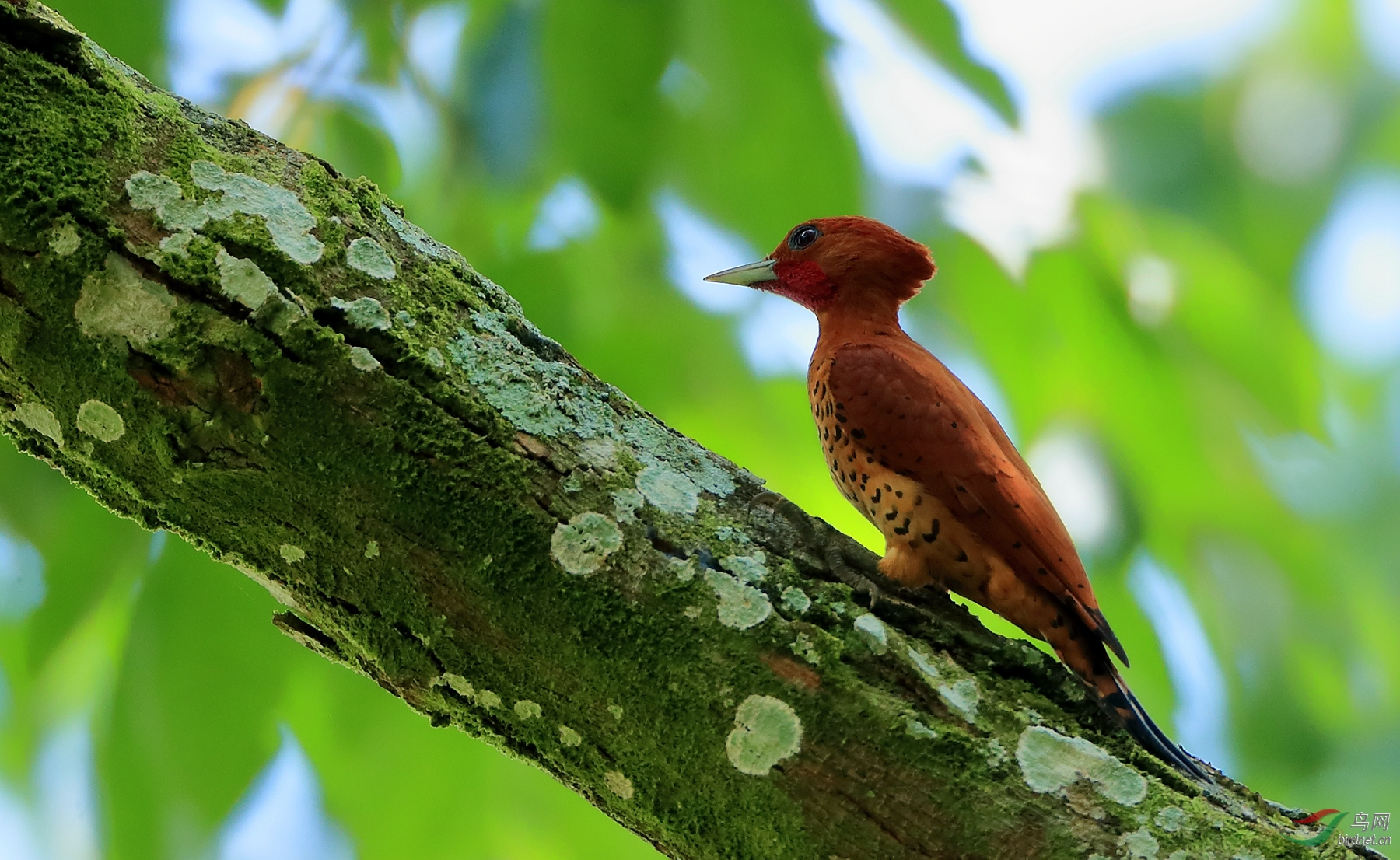 桂红啄木鸟Cinnamon Woodpecker